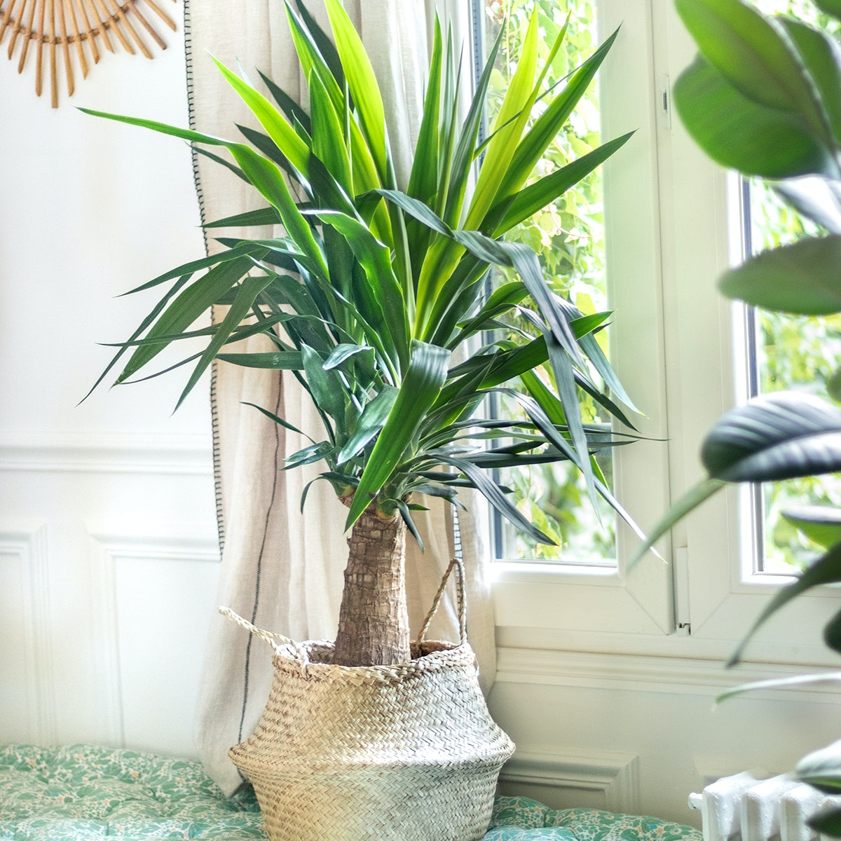 plante verte Yucca fenêtre décoration d'intérieur