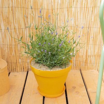 Léontine et son pot jaune - Lavande 'Blue Scent'