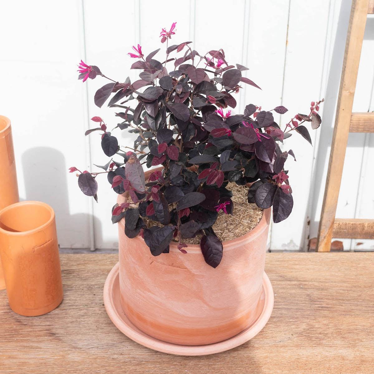 Corentine et son pot Goicoechea - Hibiscus 'Pink Giant'