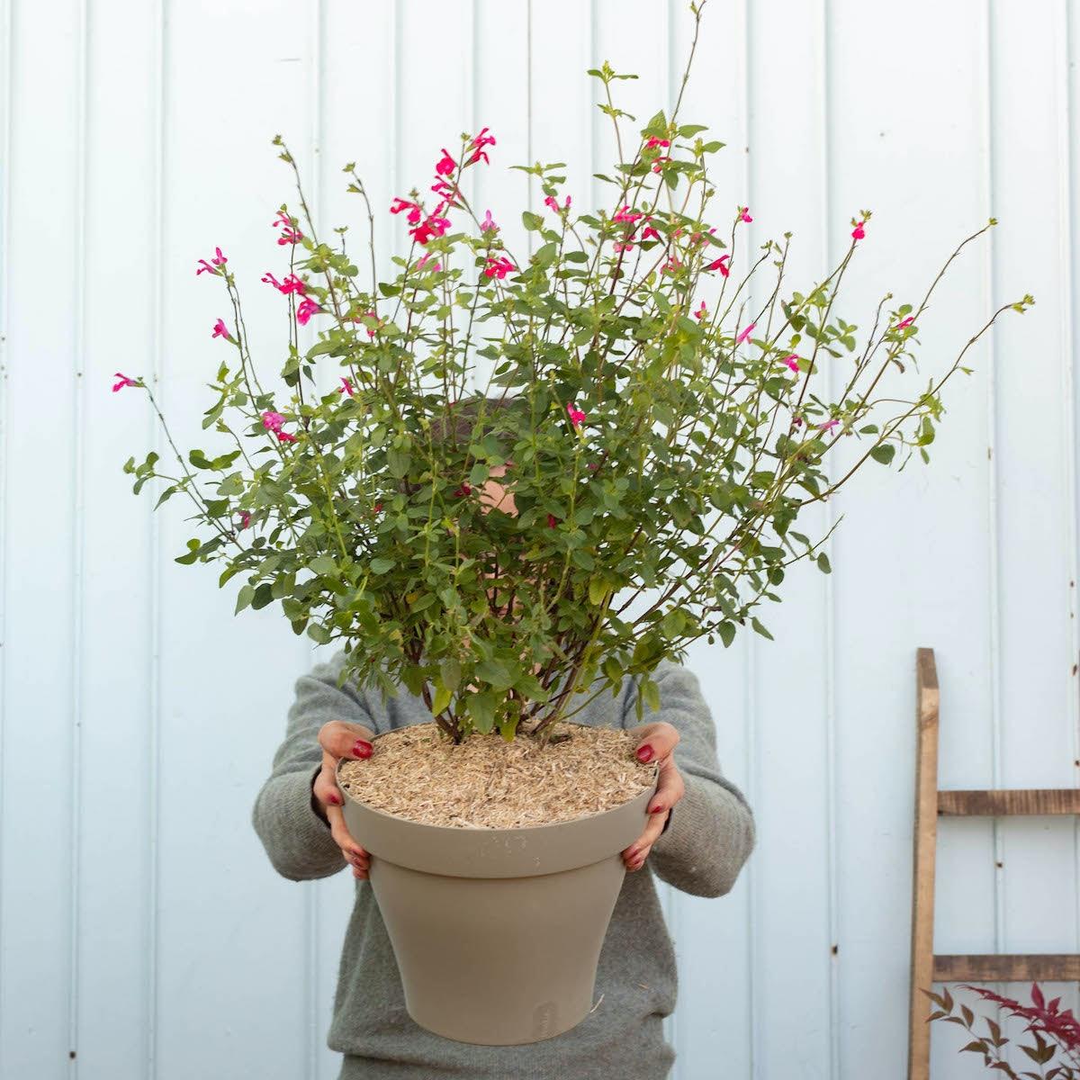 Solange et son pot vert - Sauge arbustive