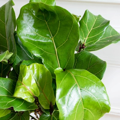 Owen - Zoom auf Ficus Lyrata