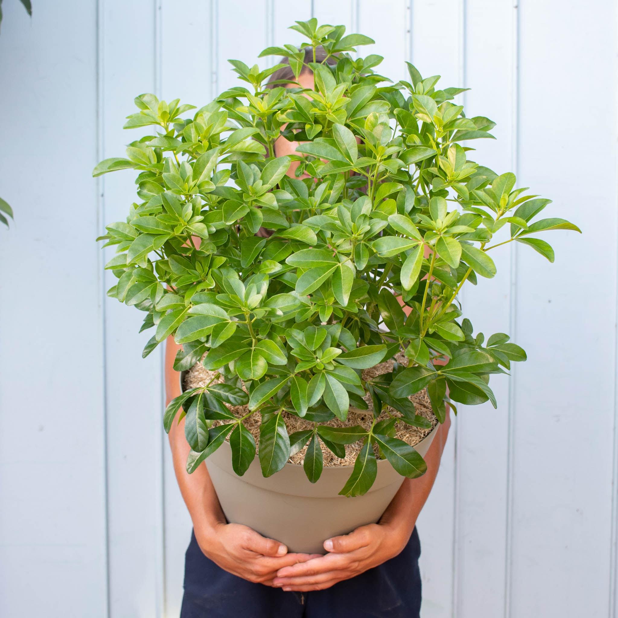 Miguel et son pot vert - Oranger du Mexique