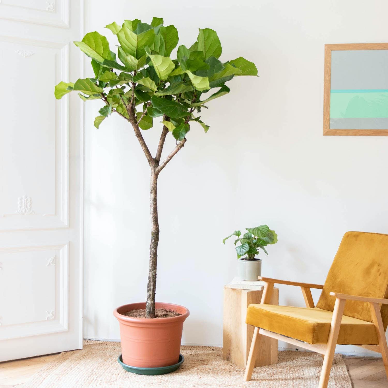 Fernand - Ficus lyrata