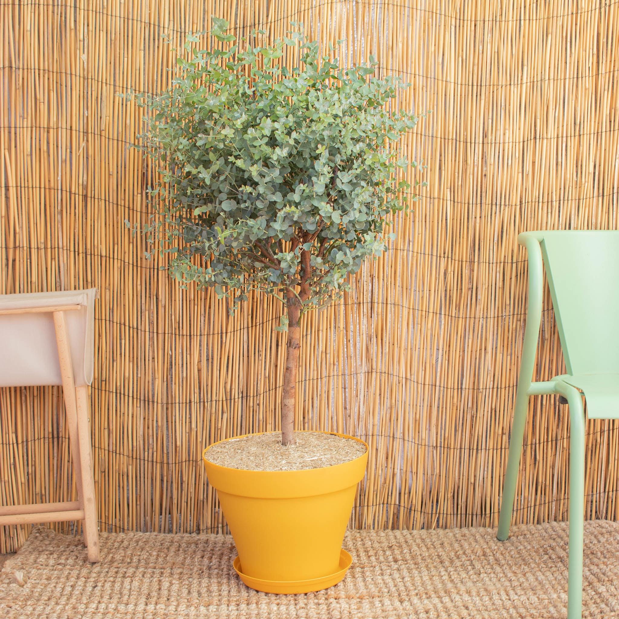 Alessandro & Topf (gelb) - Eukalyptus gunnii