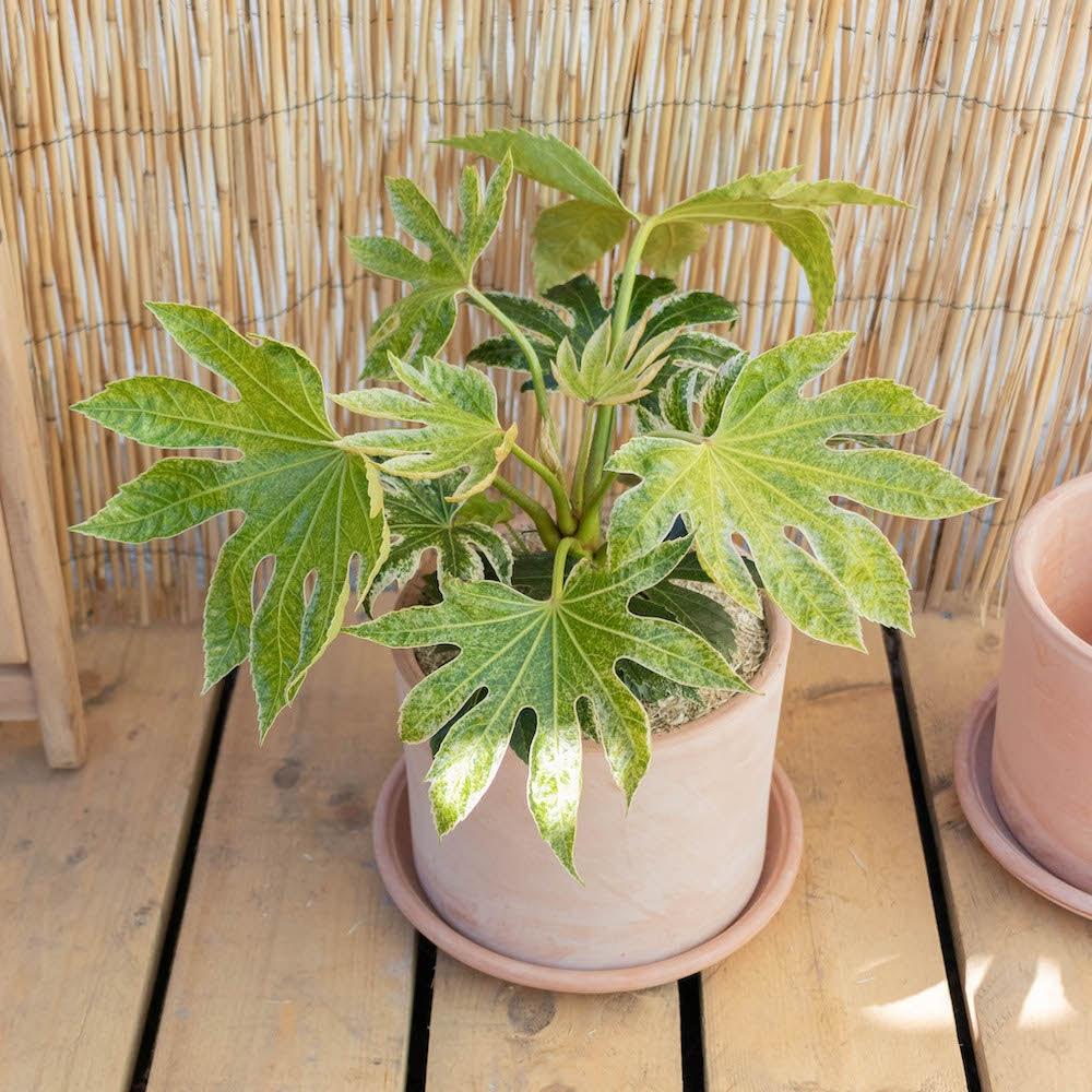 Gonzague et son pot Goicoechea - Fatsia japonica