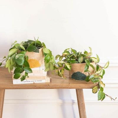 Betty - Aeschynanthus & Hoya mit Übertopf