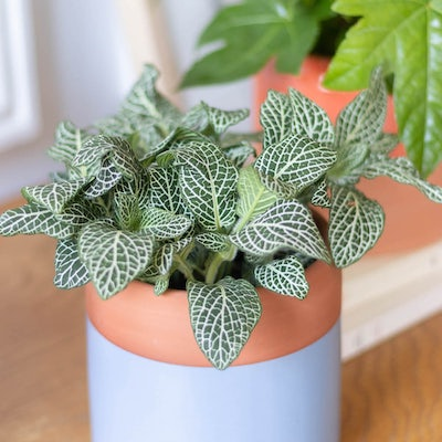 Alfred - Zoom sur Fittonia