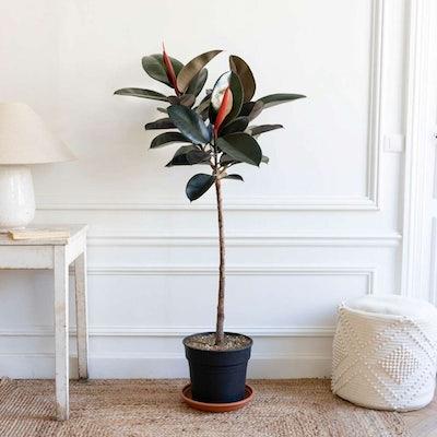 Harold sans cache-pot - Ficus elastica 'Abidjan'