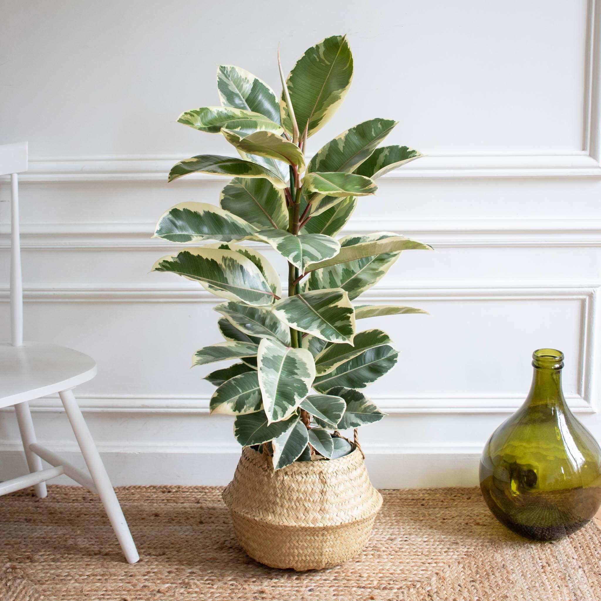 Albert et son panier naturel - Ficus 'Tineke'