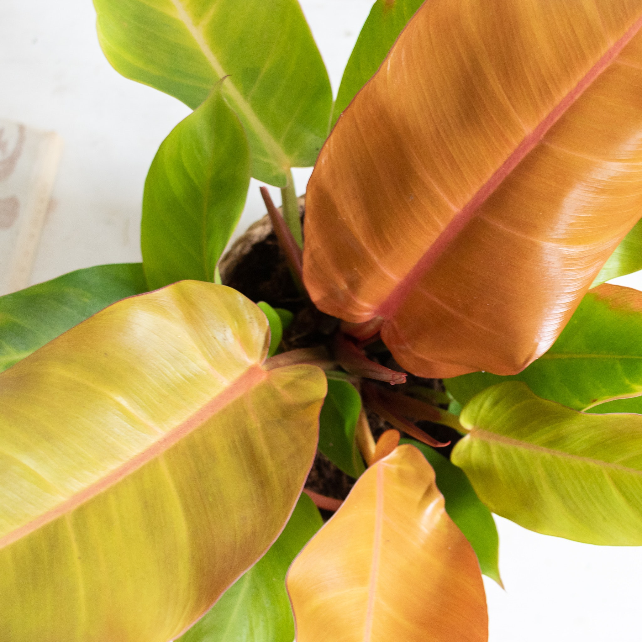 Zoom sur Prince - Philodendron 'Prince of Orange'