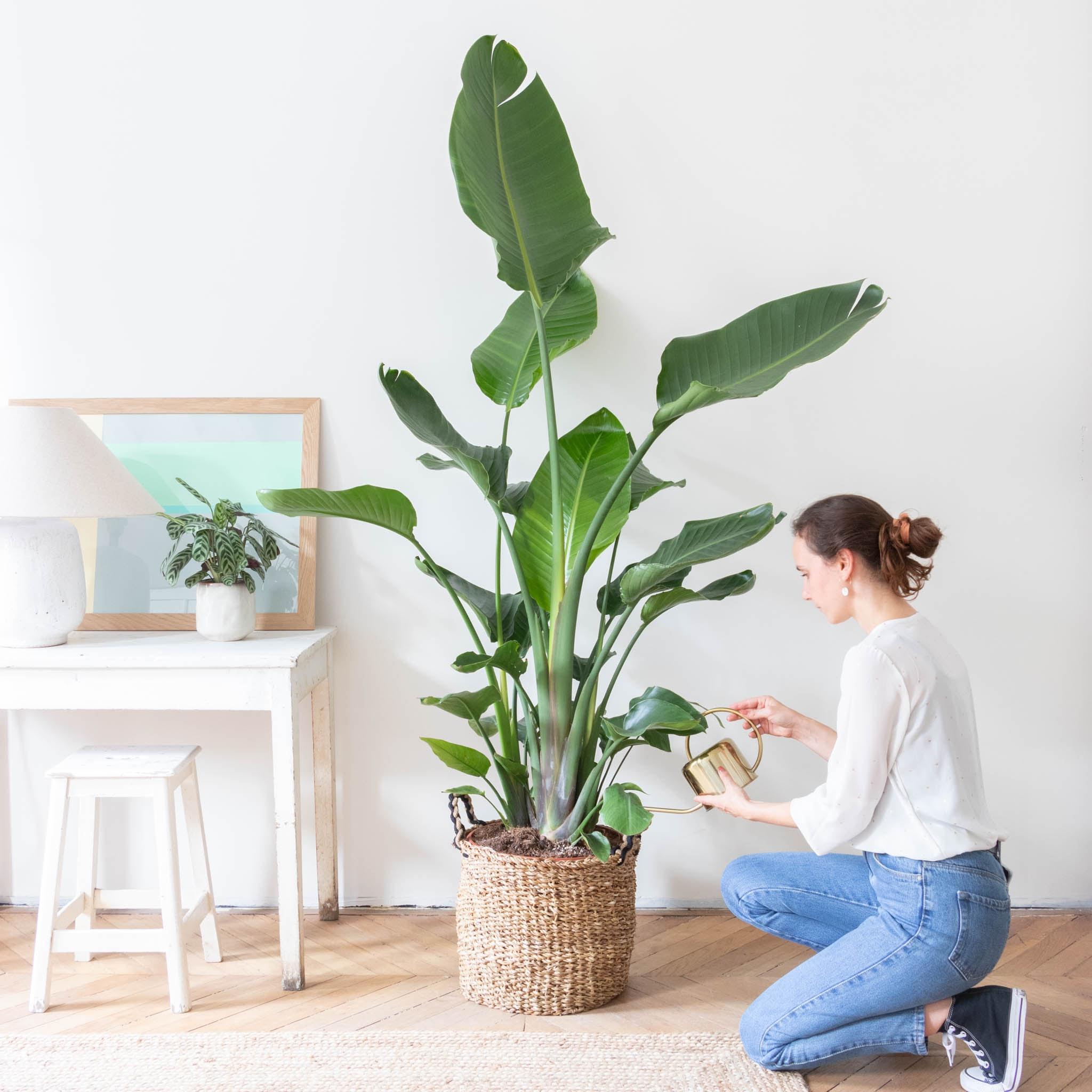 Rosalie et son cache-pot - Strelitzia nicolai
