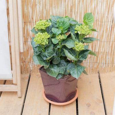 Hortense seule - Hortensia 'Dolce Chic' en début de floraison