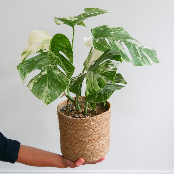Monstera Variegata & Korb
