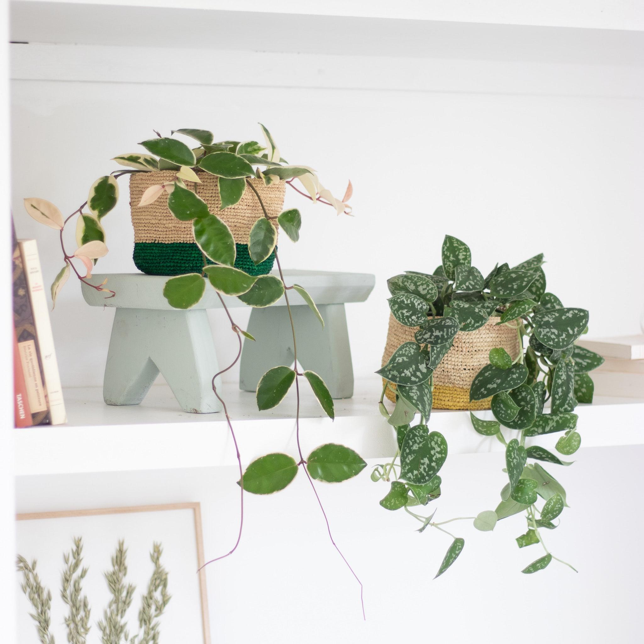 Plantes vertes plantes d'intérieur plantes suspendues décoration bergamotte