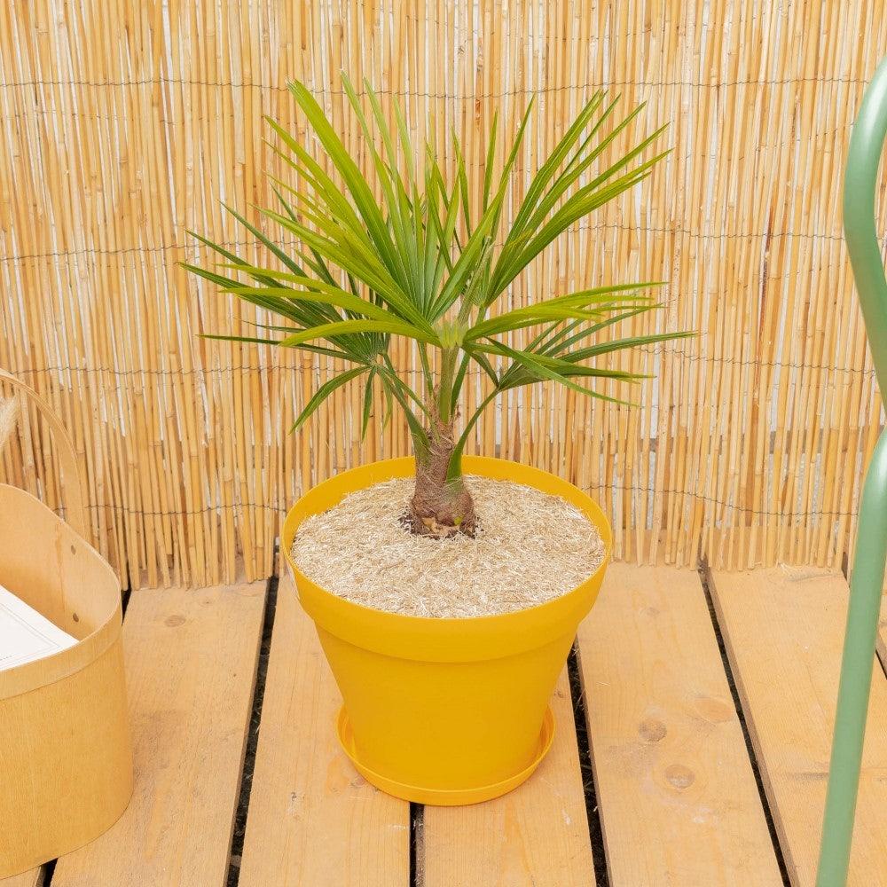 Tancrède et son pot jaune - Trachycarpus fortunei
