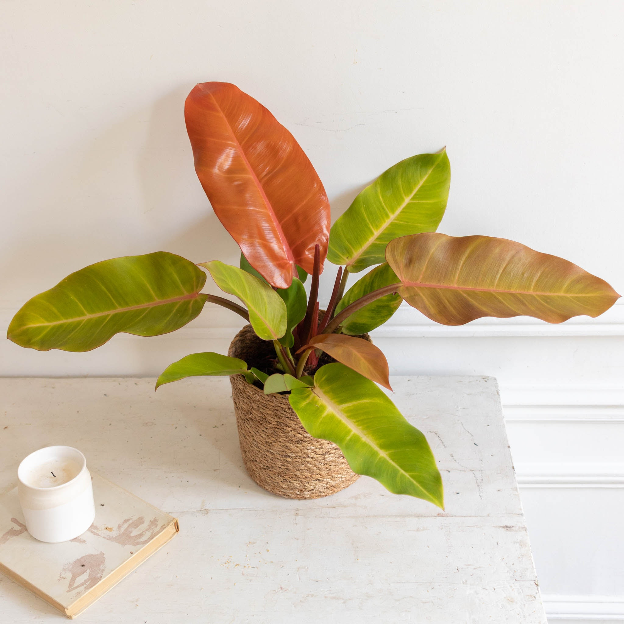 Prince et son cache-pot - Philodendron 'Prince of Orange'