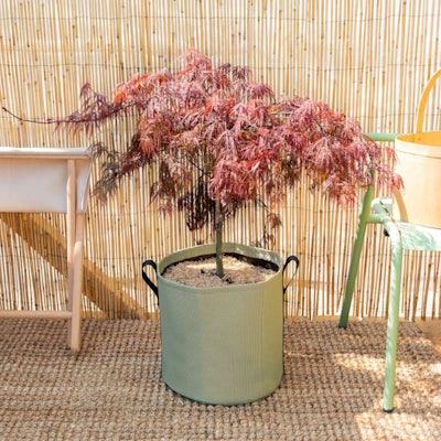 Yoko et son pot BACSAC® - Érable du Japon