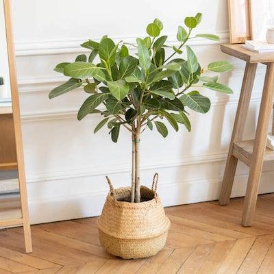 Astrid et son cache-pot - Ficus 'Audrey'