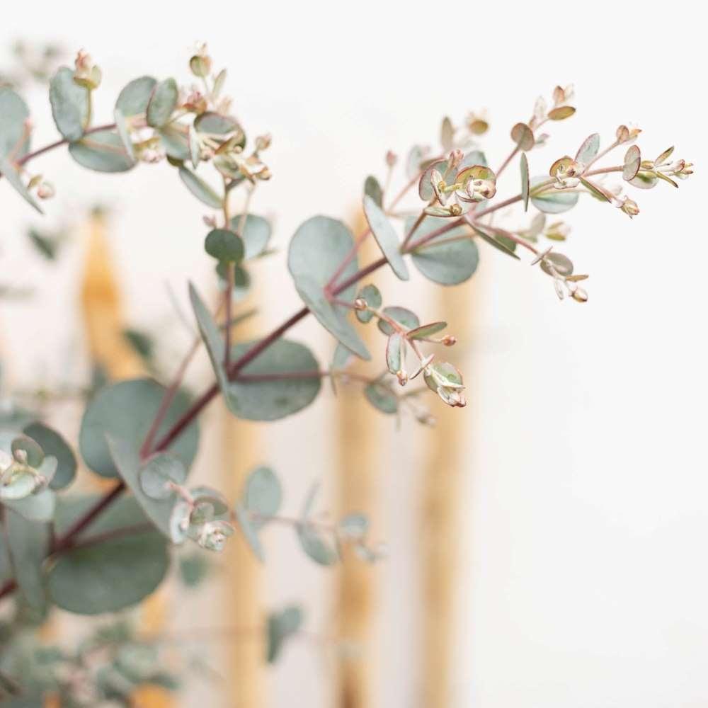 arrosage-eucalyptus