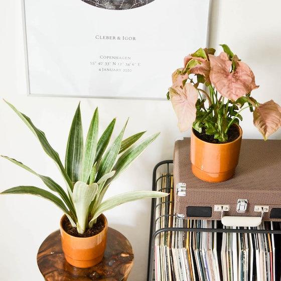 Soledad & Übertopf - Sansevieria metallica & Syngonium 'Red Heart'