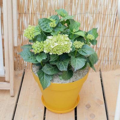 Hortense et son pot jaune - Hortensia 'Dolce Chic' en début de floraison