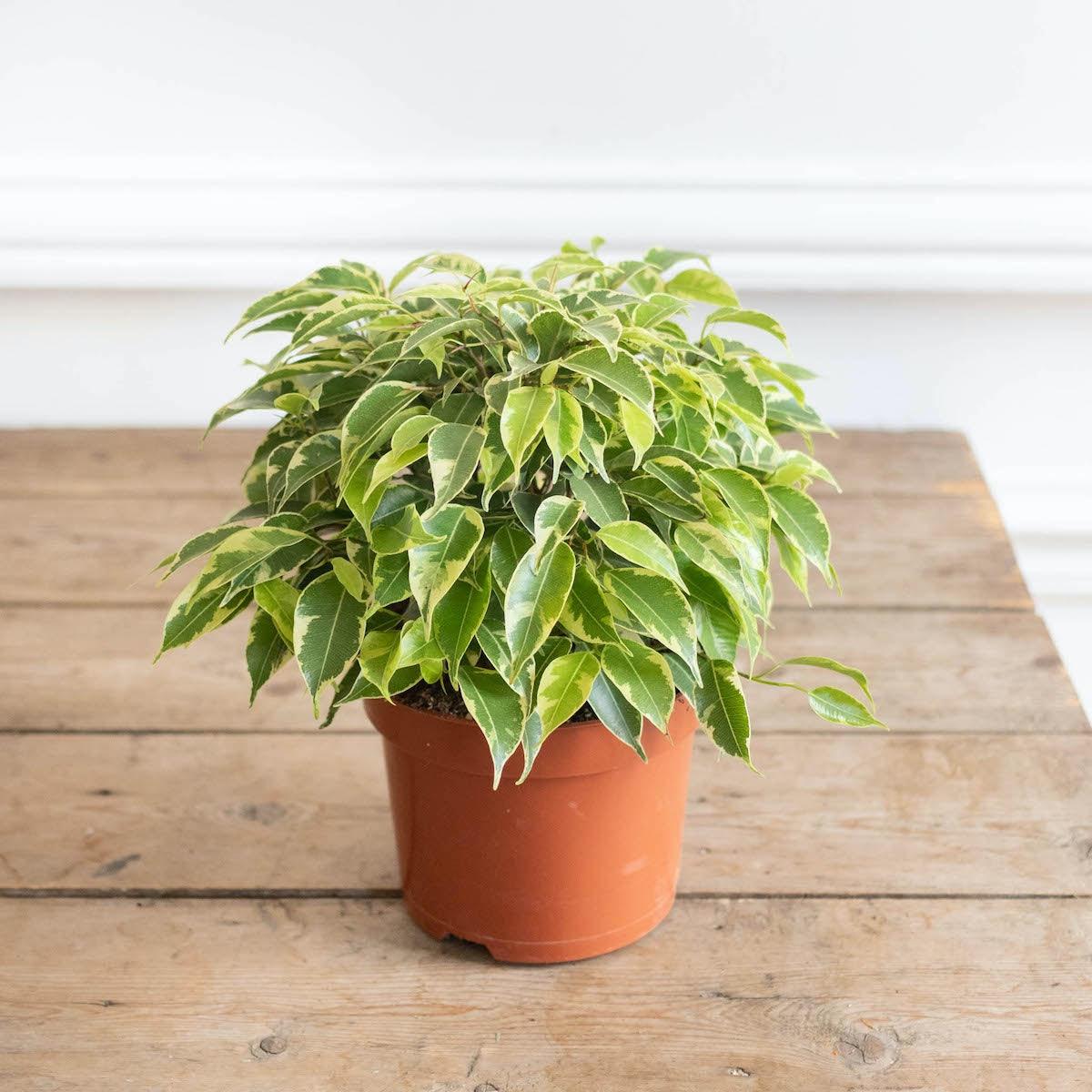 Tao ohne Übertopf  - Ficus