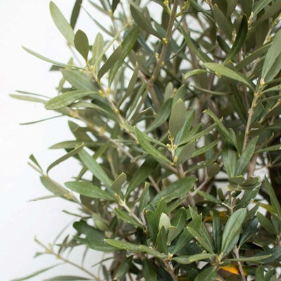 entretien-olivier