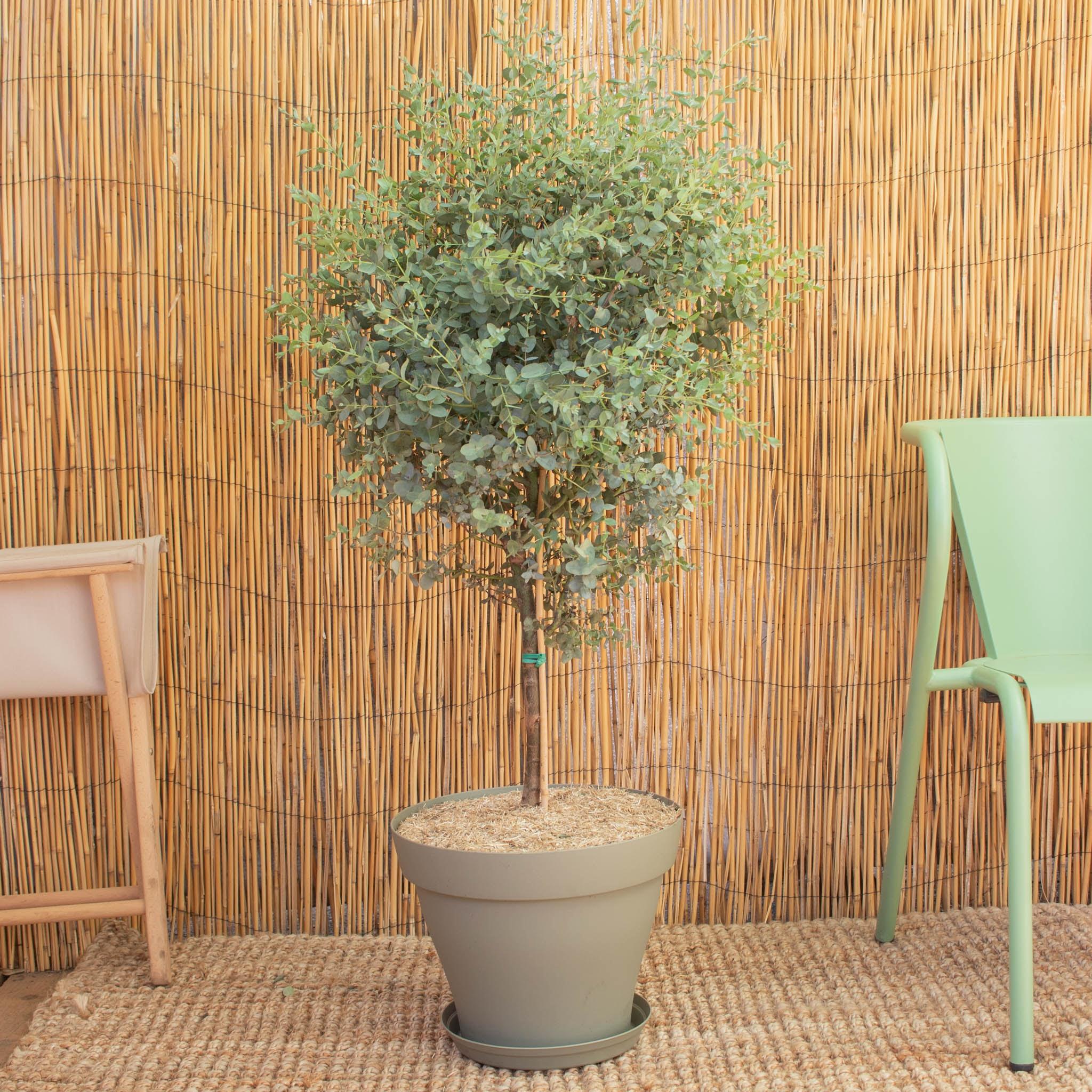 Alessandro & Topf (grün) - Eukalyptus gunnii