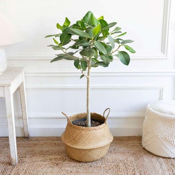 Ferdinand et son panier naturel - Ficus benghalensis 'Audrey'
