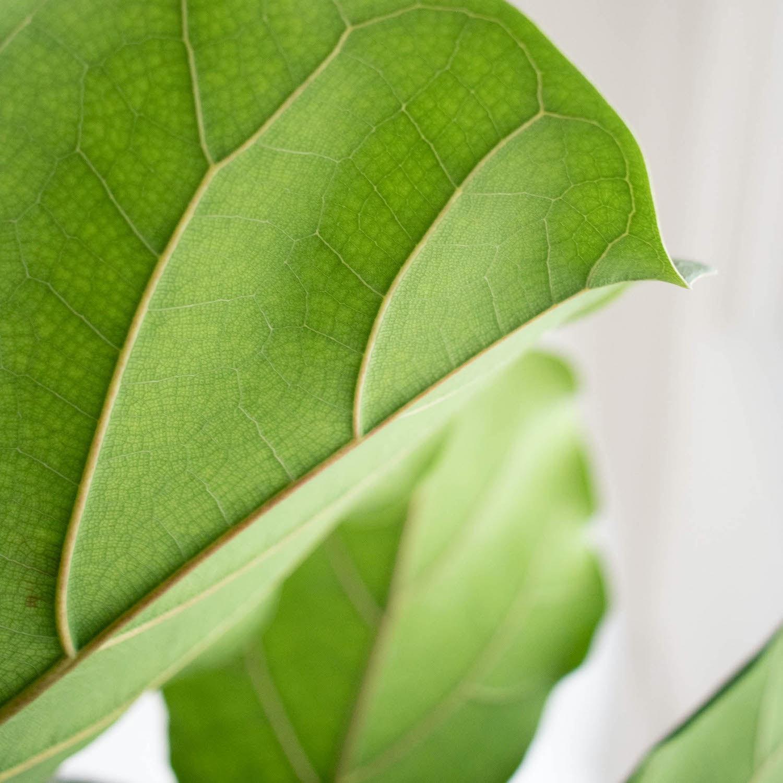 Zoom sur Fernand - Ficus lyrata