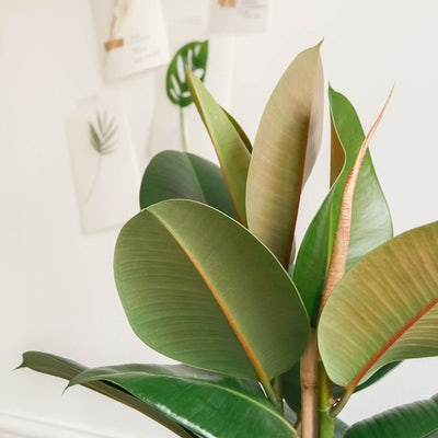 Fred - Zoom sur Ficus elastica 'Robusta'