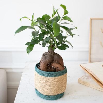 Jimmy & Übertopf (Domoina) - Ficus retusa