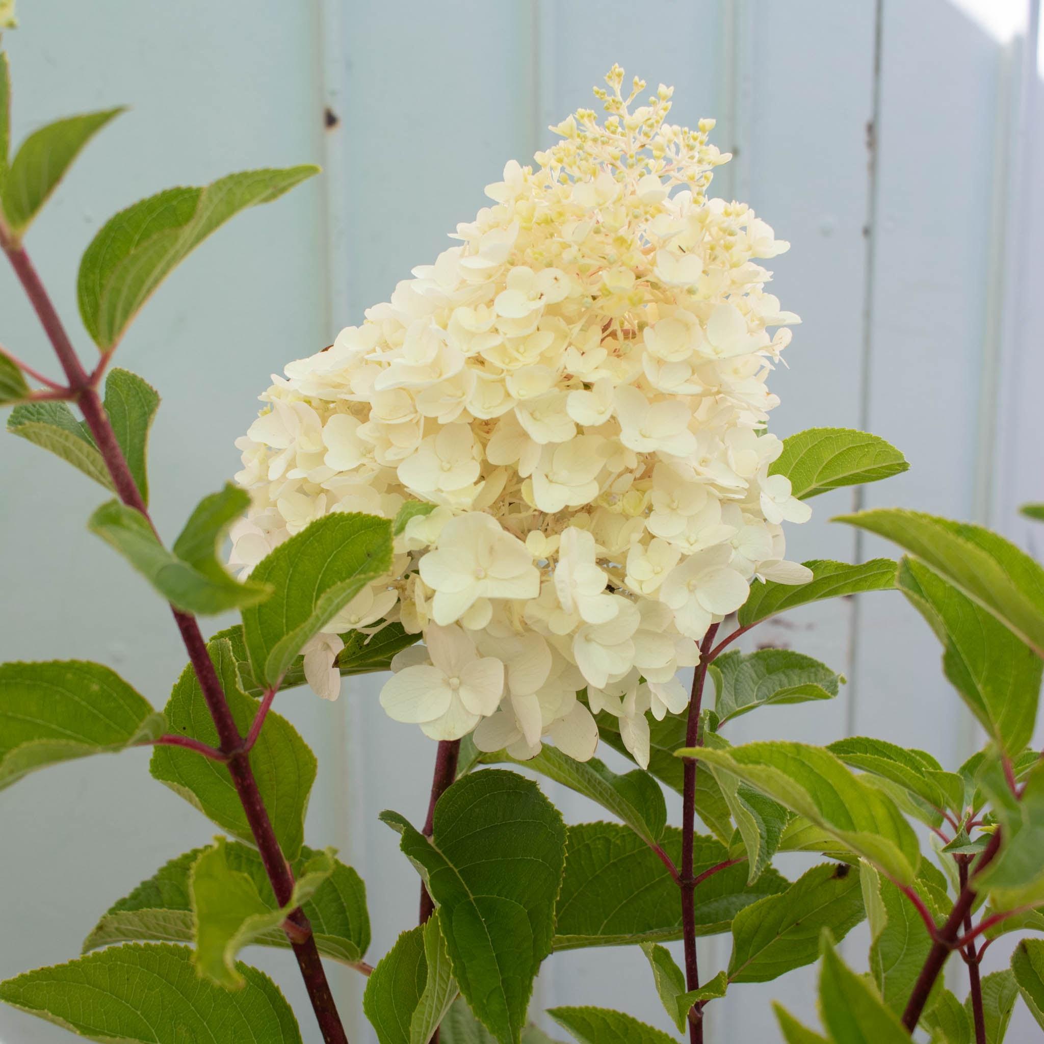 Floraison de Florence - Hydrangea paniculata