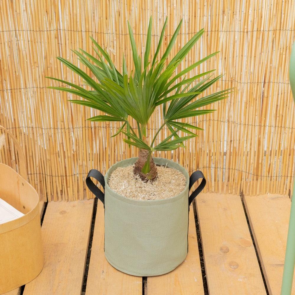 Tancrède et son pot BACSAC® - Trachycarpus fortunei