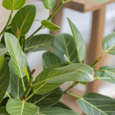Astrid - Zoom sur Ficus benghalensis 'Audrey'