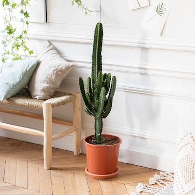 """Unsere Euphorbia acruensis """"Pablo"""" ohne Übertopf"""