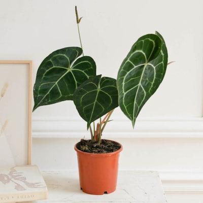 Hildegard allein - Anthurium clarinervium