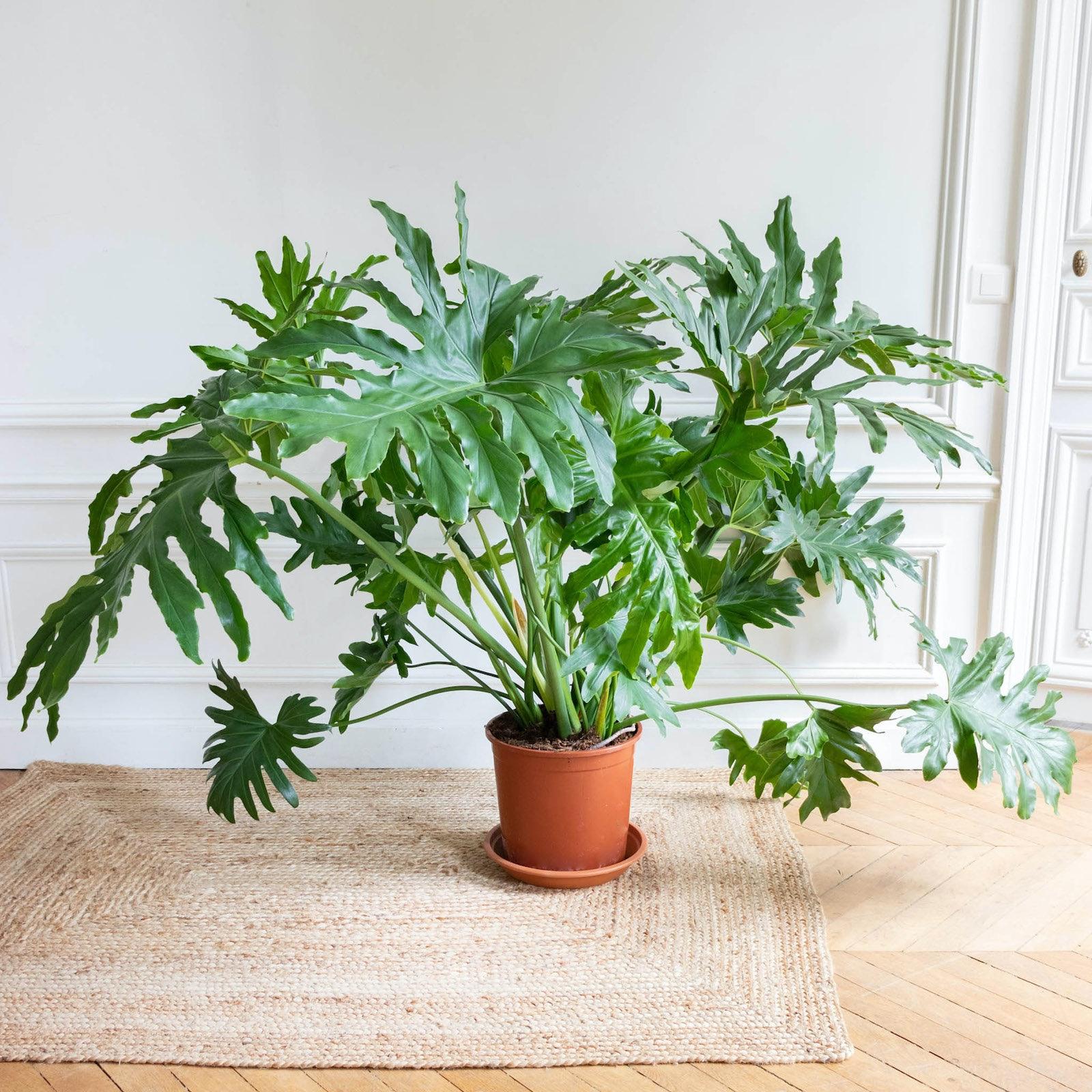Philipp ohne Übertopf - Philodendron selloum