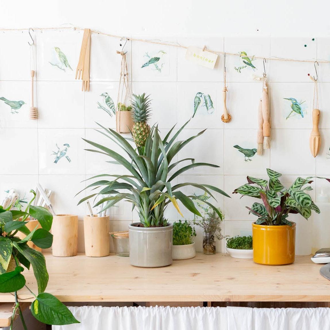 entretien-ananas-comosus