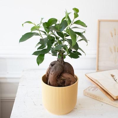 Jimmy et son cache-pot jaune - Ficus retusa